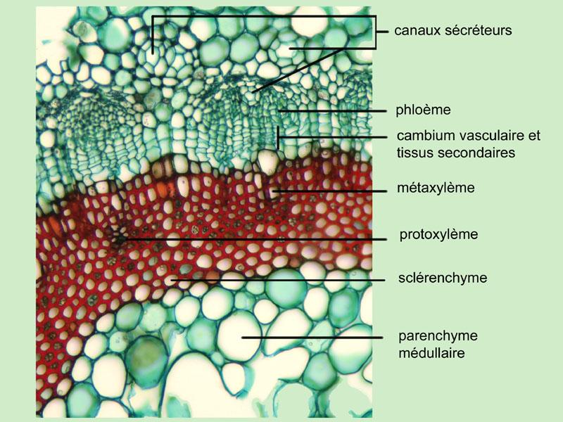 Bienfaits Griffonia Simplicifolia - comportemental du trouble déprime généralisée - guides de ...