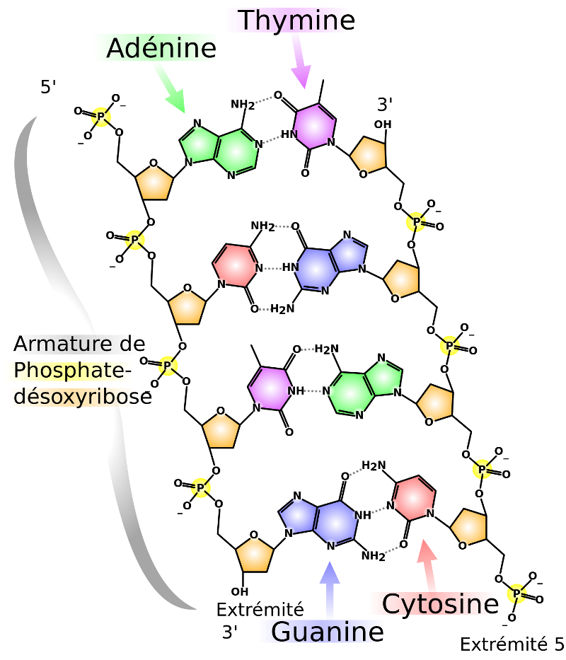 DNA_chemical_structure