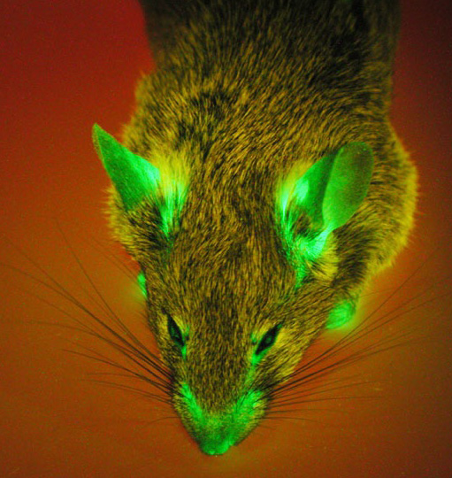 gfp-mouse